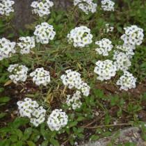 北側で尚且つ雪国でもよく育つ花